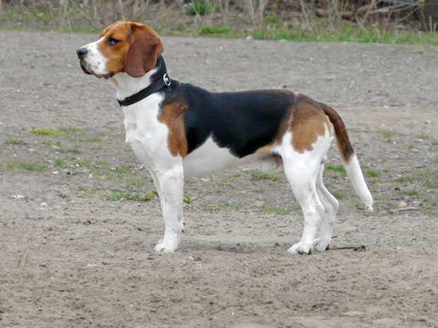 Beagle_1