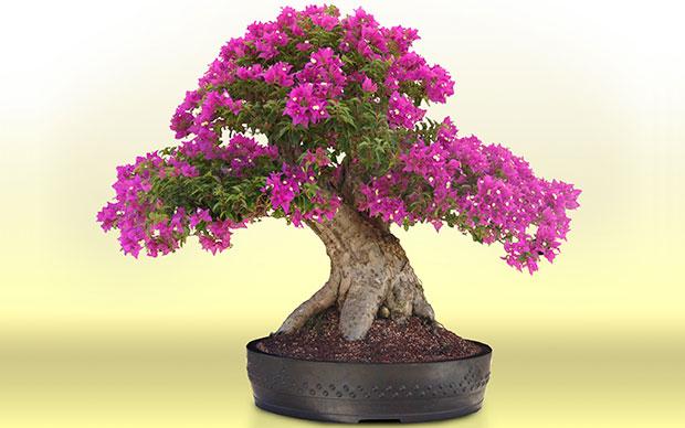 bonsai-el-hombre
